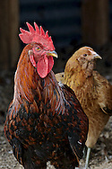 This rooster keeps the hens at Pastured Penny's Eggs happy