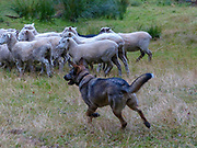 Shepherd and sheepdog herding sheep. Photographed near Christchurch, New Zealand