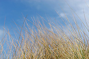 Dune grass on blue