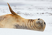 A southern elephant seal rests on a secluded beach ambivalent to the 40 knot winds that blows sand into her face