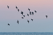 White-winged Scoters, Melanitta deglandi, Lake Ontario, Ontario, Canada