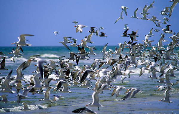 Stock photo of a flock of seagulls taking off from the beach in Galveston Texas
