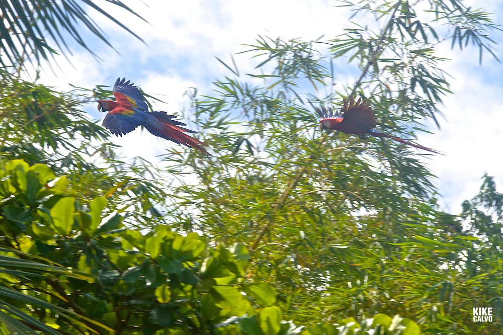 Scarlet macaws in flight. Caletas Reserve. Peninsula Osa.