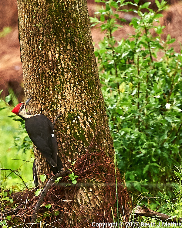 Pileated Woodpecker. Backyard spring nature in New Jersey. Image taken with a Nikon D4 camera and 500 mm f/4 VR lens (ISO 1250, 500 mm, f/5.6, 1/320 sec).