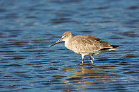 Willet Catoptrophorus semipalmatus Ding Darling National Wildlife Reserve Sanibel Island Florida USA