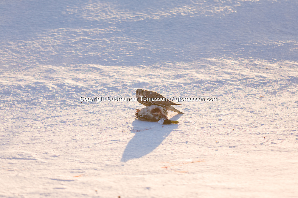 Gyrfalcon with a newly hunted duck at Eyjafjöll, Iceland.