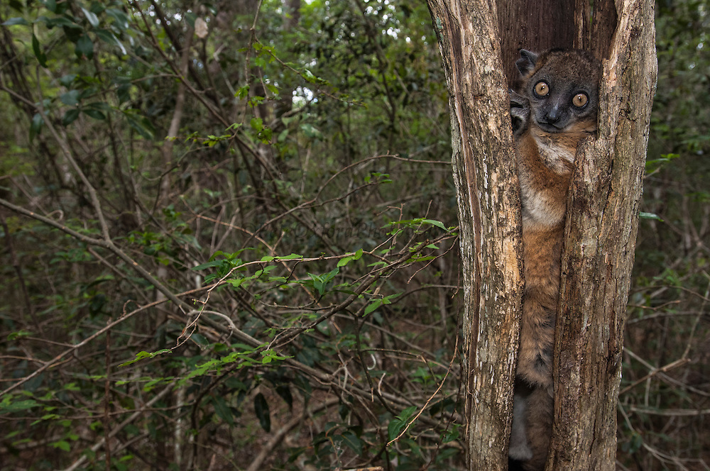 Hubbard's Sportive Lemur (Lepilemur hubbardi) - previously assumed to be L. ruficaudatus<br /> Zombitse Reserve (high plateau between Isalo National Park and Tulear) MADAGASCAR. This reserve, only 21,500ha constitutes the last remnants of transition forest between the west & south floristic domains. It is a medium-sized nocturnal lemur with a long tail and one of the largest of the lepilemur species. Length: 500-560mm; Weight 500-800 grams. They cling vertically to tree trunks and jump large distances with their powerful hind legs. Tree holes or tree forks are the preferred sleep sites where they can be seen during the day resting. They are usually found singularly except during breeding season and when they have offspring. They are primarily folivorous although the fruits of some trees are also taken. It can tolerate leaves with high concentrations of potential toxins during the dry season and is even able to subsist on dry leaves. It may in some circumstances re-ingest its own faeces. During daytime resting this species is also known to have one of the lowest metabolic rates of any mammal. This is raised substantially prior to the night-time activity. This is a further adaption to help its survival on a very poor quality diet and also live at relatively high densities. A single young is born around October. At first the infant is carried by its mother in her mouth, it later clings to the fur on her back. When it is older still, the mother may leave or 'park' it in a tree hole or similar 'safe' site while she forages. They are preyed upon by  Madagascar long-eared owl (Asio madagascariensis), Madagascar harrier-hawk (Polyboroides radiatus) and fosa (Cryptoprocta ferox). The latter two being able to excavate it from its daytime holes.<br /> HABITAT & DISTRIBUTION: Dry deciduous forest of w. Madagascar. Onilahy River inland to Zombitse and n to the Manombolo River.<br /> THREATS: Forest fires are common in its range to increase cattle pasture. Also hunted.<br /> ENDE