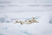 A polar bear mom and her two yearling cubs relax in the sea ice in the Barents Sea.  There is actually a third cub on mom's far side just out of view.  Triplets are rare in polar bears and it's extremely rare for all three to make it to their second year.