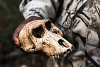 Baboon skull, Thanda Private Game Reserve, KwaZulu Natal, South Africa