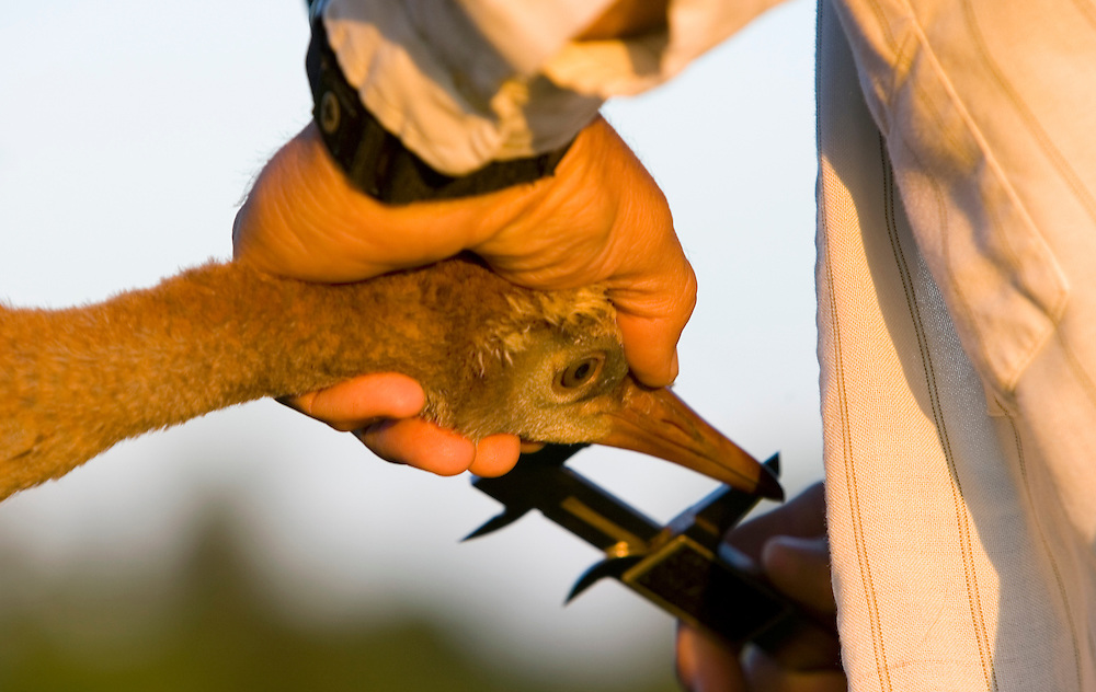 capture and tagging of Sandhill chicks