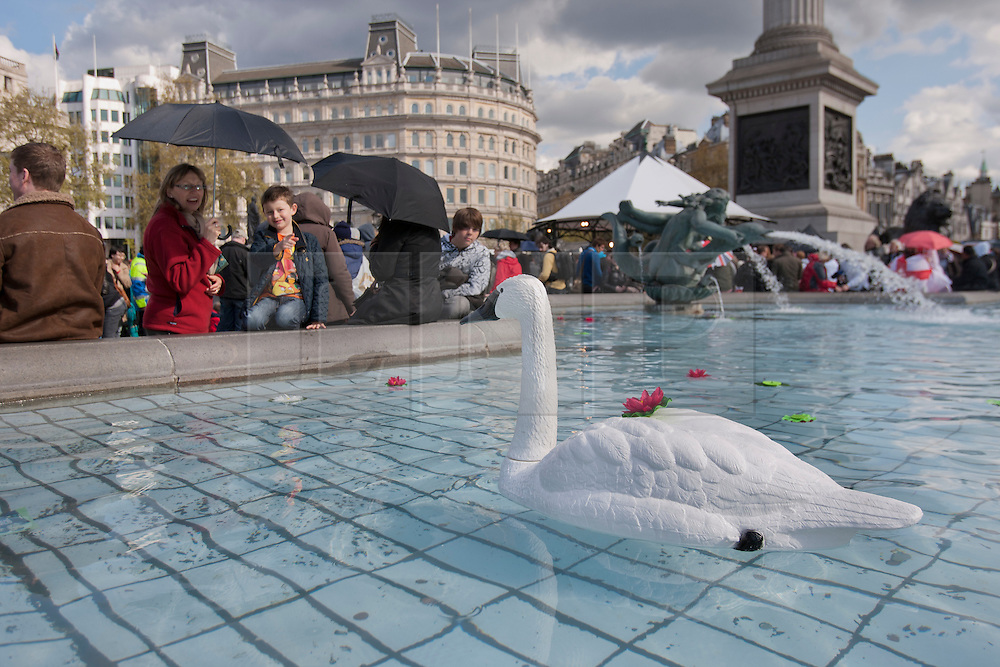 © licensed to London News Pictures. London, UK 21/04/2012. Plastic ducks swimming in Trafalgar Square's pools as the London landmark transformed into an English garden ahead of St George's Day. Photo credit: Tolga Akmen/LNP