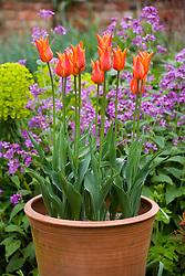 Tulipa 'Ballerina' in tall terracotta pots in front of honesty in the oast garden
