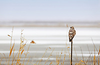 A Rough Legged Hawk watches a frozen pond in the Bear River Migratory Bird Refuge for mice and small birds the refuge has no trees so the hawks will perch on anything with a little height like this fence post.