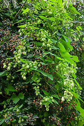 The hops of Humulus lupulus 'Aureus' AGM - Golden Hop - with the hips of Rosa brunonii - Himalayan musk rose