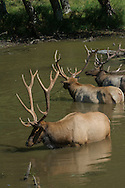 The Roosevelt elk are the largest of the four surviving subspecies of elk in North America. They live in the rain forests of the Pacific Northwest and were introduced to Alaska's Afognak and Raspberry Islands in 1928.