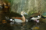 20180606 Baby Ducks - Ringed Teal • Tropical Conservatory