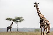 Giraffes feeding in Tanzania, Africa