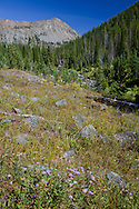 Wildflowers bloom late into the summer along Cliff Creek, Eagle Cap Wilderness, Oregon