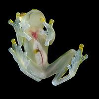 Sun Glass Frog (Hyalinobatrachium aueroguttatum), male