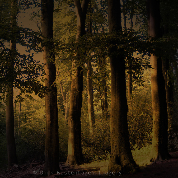 Beech tree forest in dark light