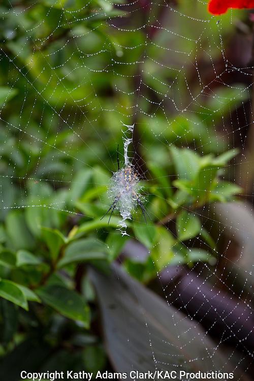 Argiope aurantia, Black and Yellow Garden Spider, Black and Yellow Argiope, Garden Spider, Writing Spider, Golden Orbweaver, Garden, Houston, late summer, Texas.
