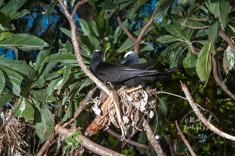 Common Noddies (Anous stolidus), nesting, Lady Elliot Island, Great Barrier Reef, Queensland, Australia