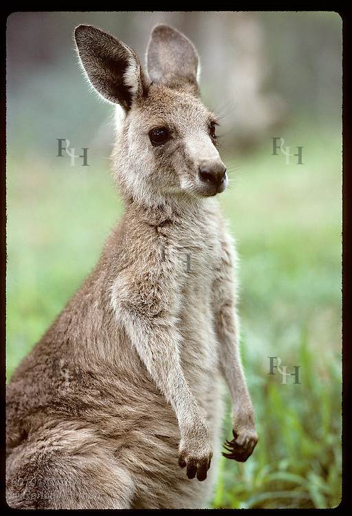 Smallest and furriest of the kangaroos, this wallaroo, or euro, gazes ahead in zoo; Wagga, NSW. Australia