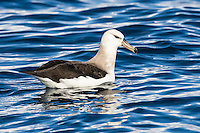 Immature Shy Albatross floating on the ocean, Cape Canyon Trawl Grounds, South Africa