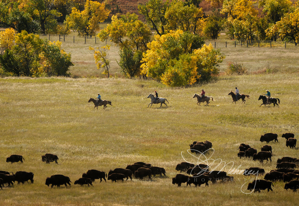 One of the most memorable sights to the 14,000+ attendees of Custer State Park's Annual Buffalo Round Up is the herd being controlled and directed to corrals by riders on horseback.