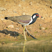 The red-wattled lapwing (Vanellus indicus) is a lapwing or large plover, a wader in the family Charadriidae.