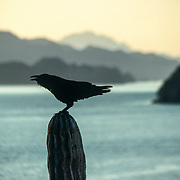 When I was camping on one of the Los Candeleros islets, I was sharing it with three ravens. They were rolling and tumbling acrobatically in the updraughts that were whipping up the precipitous face of the island. I have developed a special affinity with that most ubiquitous, intelligent and successful of all birds over many years in Alaska, where their amazing repertoire of calls is an integral feature of the ancient forests. I have even learnt how to mimic some of their calls and capture their attention. After a few days cutting the ice with my fellow residents one of them started flying out to my kayak to seemingly greet me whenever I returned to the island; it would circle overhead whilst calling out and then escort me back to shore.<br /> After a couple of weeks of familiarisation my glossy black friend vanished. A few days later I landed on a nearby beach at Ensenada Blanca to visit an American living in the local fishing village. As I stepped ashore I noticed a raven flying demonstrably towards me. I replied to its raven calls and it flew overhead and did a few rolls as if it was showing off. The acknowledgement was plain to see, rather like a dog wagging its tail. Then it flew ahead of me and proceeded to harass and dislodge the turkey vultures that were perched in the trees. After each successful assault it called out and then proceeded to dislodge another vulture in the next tree; within seconds the sky was full of screeching, disgruntled vultures! It seemed as if the raven was clearly intoxicated with its own sense of bravado, and maybe it was even trying to impress me. When I arrived at the American's house at the end of the beach I told him about the hilarious encounter with my shiny black friend and when he looked out of the doorway to see if the raven was still out there he looked at me, laughed, and informed me that it was waiting outside for me, and sure enough it was perched on a cactus just a few metres from the door!