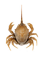 Masked Crab - Corystes cassivelaunus