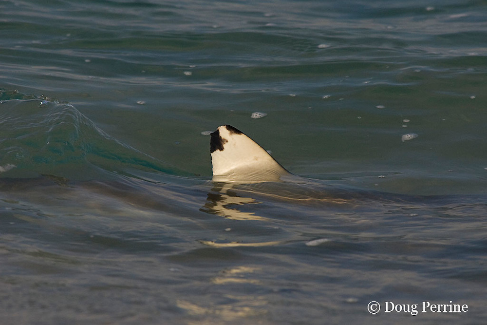 dorsal fin of blacktip reef shark, Carcharhinus melanopterus, breaks the surface as it patrols the shoreline, Turu Cay, Torres Strait, Queensland, Australia