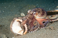 Veined octopus are 'tool-users' - they carry shells and cocnut shells around in the arms, hiding themselves in the shell when threatened. Lembeh Strait in N Sulawesi is famous for its unusually high marine biodiversity, particularly of unusual animals that live on the exposed sand areas.