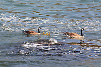 A pair of Canadian Geese (aka Canada Geese) swimming with their chicks in the Pacific Ocean, near Jenner, Sonoma County, California, USA. It is easily recognised with its distinctive a black head and neck, white patches on its face, and a brownish-gray body. 201304292080<br /> <br /> Copyright Image from Victor Patterson, 54 Dorchester Park, Belfast, UK, BT9 6RJ<br /> <br /> Tel: +44 28 9066 1296<br /> Mob: +44 7802 353836<br /> Voicemail +44 20 8816 7153<br /> Skype: victorpattersonbelfast<br /> Email: victorpatterson@me.com<br /> Email: victorpatterson@ireland.com (back-up)<br /> <br /> IMPORTANT: If you wish to use this image or any other of my images please go to www.victorpatterson.com and click on the Terms & Conditions. Then contact me by email or phone with the reference number(s) of the image(s) concerned.