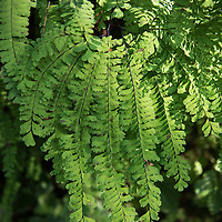 Detail of one of the three varieties of ferns growing in Fern Canyon, a canyon in the Prairie Creek Redwoods State Park in Humboldt County, California, USA. It was one of the shooting locations of the movie Jurassic Park 2: The Lost World.