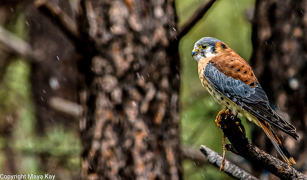 Wild American Kestrel - Snowing, Arizona, Wildlife