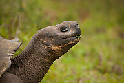 A giant galapagos tortoise (Geochelone elephantopus) feeding in the lush highlands, of Santa Cruz Island, Galapagos Archipelago - Ecuador.