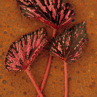 Three hairy leaves and stems of Coleus with pink and burgundy variegation lying on rusty metal sheet