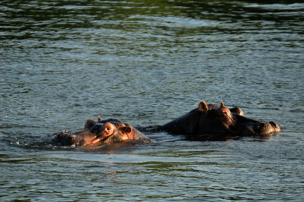 Hippopotamus (Hippopotamus amphibius), Zambesi River, Livingstone, Southern Province, Zambia