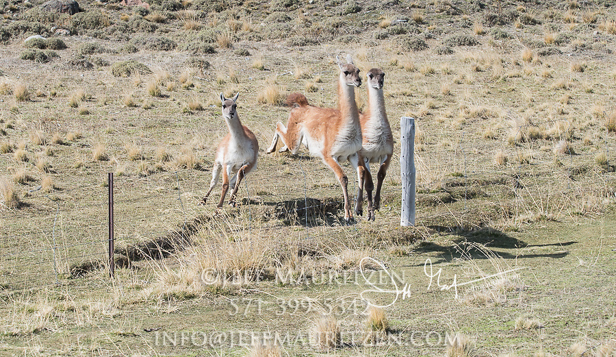 Guanacos jump over a fence in Torres del Paine National Park, Chile.
