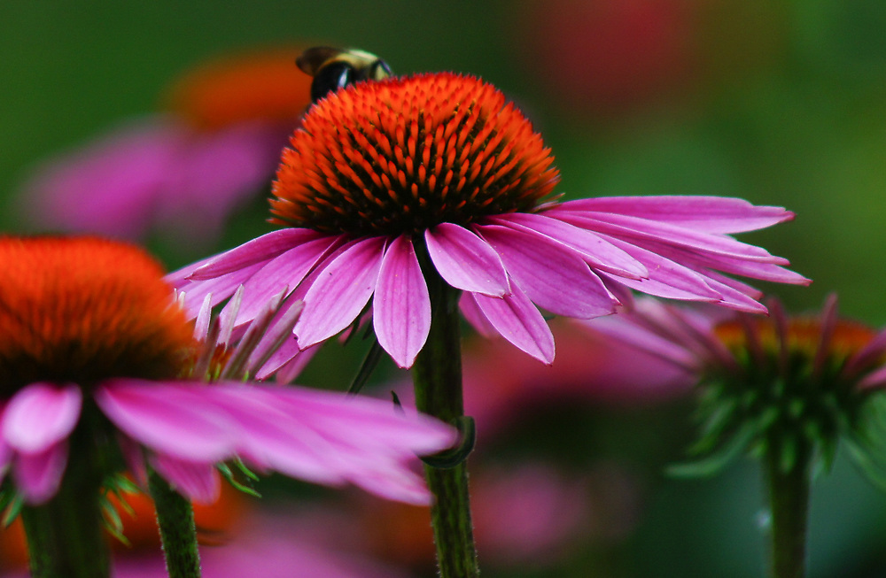 Macro photo of bee on colorful flower.