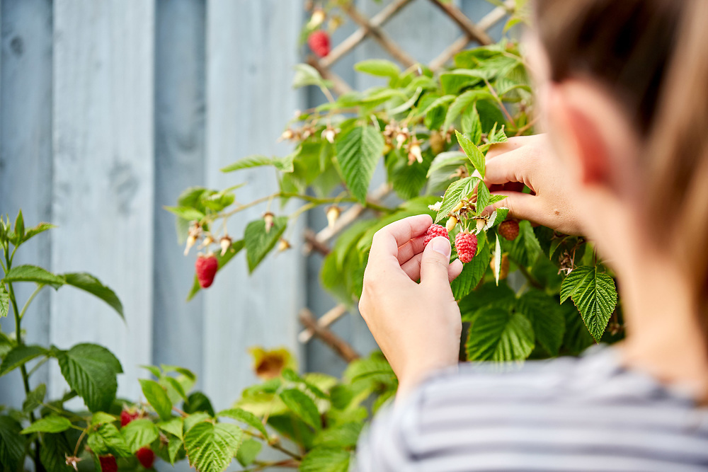 A photograph of a gardener as she selects and picks fresh organic and home grown summer fruiting raspberries in the garden in Yorkshire, England.