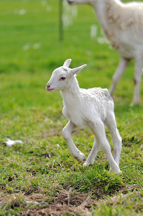 A baby lamb, just one day old, is already running around the pasture.