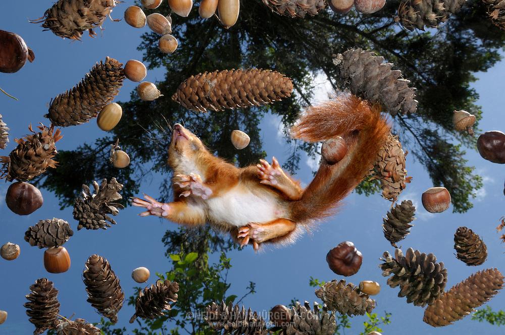 DEU, Deutschland: Europäisches Eichhörnchen (Sciurus vulgaris), Eichhörnchen von unten, auf Glasscheibe, umgeben von Nüssen, Eicheln und Zapfen aus seinem Lebensraum, sie sind Sohlengänger wie wir, nicht z.B. wie Mäuse, die nur auf den Zehenspitzen gehen, Eckernförde, Schleswig-Holstien | DEU, Germany: Eurasian Red Squirrel (Sciurus vulgaris), squirrel from below, on glass pane surrounded by nuts, acorns and cones from his habitat, they are plantigrade, not like mice who tiptoeing, Eckernfoerde, Schleswig-Holstein