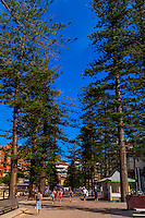 Massive Norfolk Island pine trees line the beach at Manly, Sydney, New South Wales, Australia