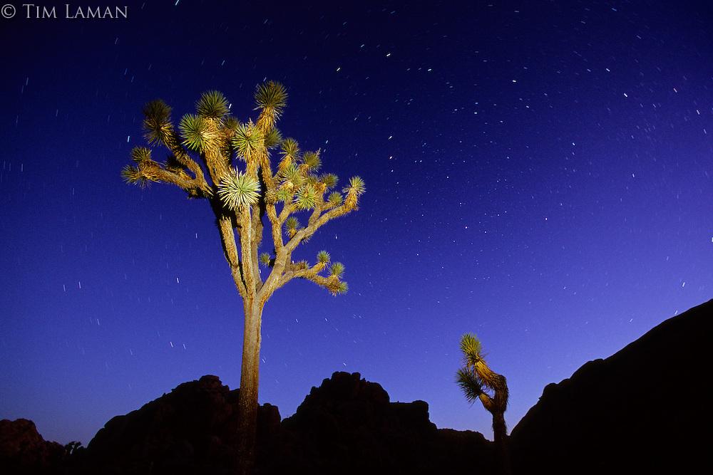 Joshua tree (Yucca brevifolia) at night.