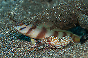 Red Barred Shrimp Goby (Amblyeleotris sp.) with accompanying shrimp near borrow, photographed in Komodo National Park, Indonesia. This fish and shrimp form a mutually beneficial partnership in which the goby serves as a sentinel, looking out for danger, and the shrimp is responsible for building and maintaining their home.