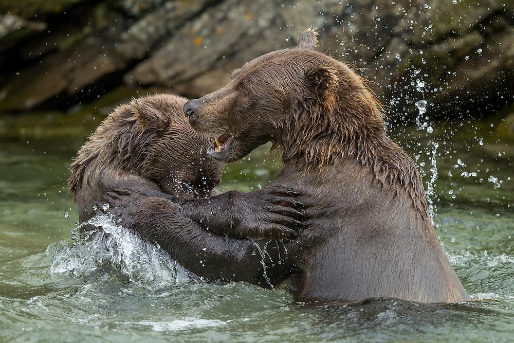 USA, Alaska, Katmai National Park, Coastal Brown Bear and second-year cub (Ursus arctos) playing and sparing in stream along Kuliak Bay