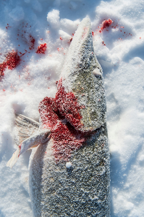 A frozen and bloodied Northern Pike caught while ice fishing on Little Bay de Noc near Gladstone, Michigan.
